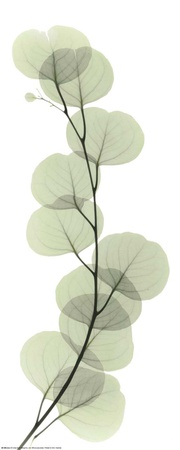 X-Ray Eucalyptus Branch I Prints by Albert Koetsier