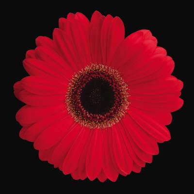 Gerbera Daisy Red Poster by Jim Christensen