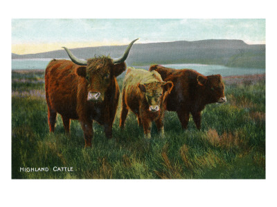 Scotland - View of Highland Cattle Lmina