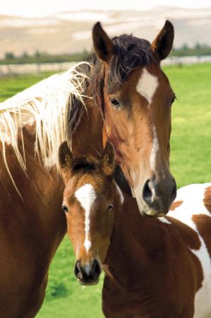 Heste, Hoppe og føl Plakat