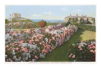 Hydrangeas, Nantucket, Massachusetts Posters