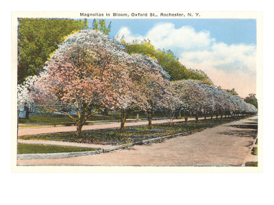 Magnolias in Bloom, Rochester, New York Prints