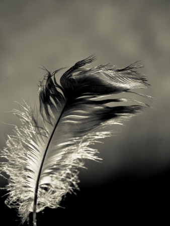 Feather Photographic Print by David Ridley