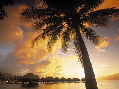 Palm Tree, Sofitel La Ora Resort, Moorea, French Polynesia Photographic Print by Walter Bibikow