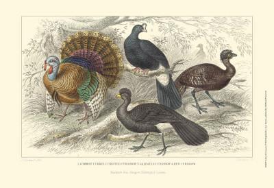 Turkey & Curassows Prints by Julius Stewart