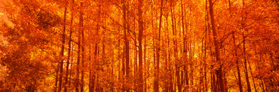 Aspen Trees at Sunrise in Autumn, Colorado, USA Photographic Print