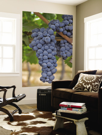Close Up of Cabernet Sauvignon Grapes, Haras De Pirque Winery, Pirque, Maipo Valley, Chile Wall Mural by Janis Miglavs
