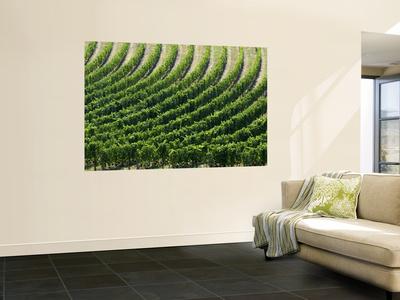 Rows of Grape Vines in Chianti Region Wall Mural by Rocco Fasano