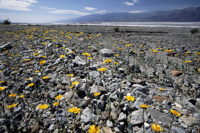 Wildflower Bloom, Death Valley, California Photographic Print