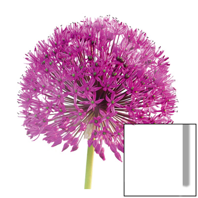 Purple Allium I Art on Glass