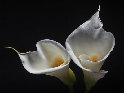Two Calla Lilies Photographic Print by George Oze