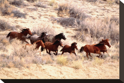 Mustang Horses Running, Wyoming Stretched Canvas Print