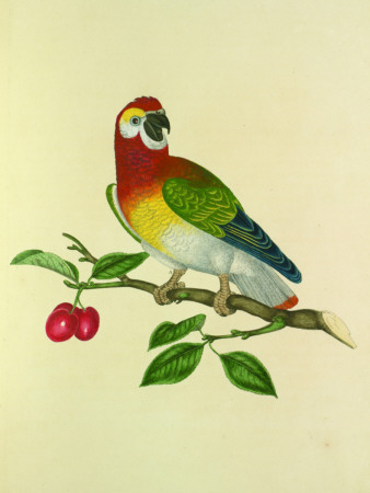 Yellow Breasted Lory Tin Sign