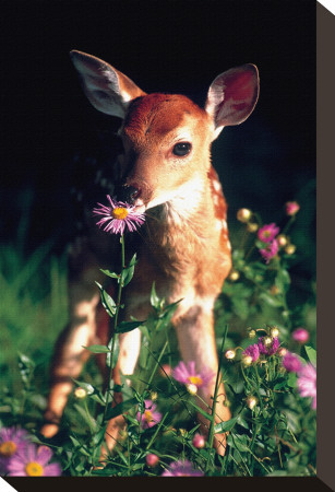 Fawn Stretched Canvas Print