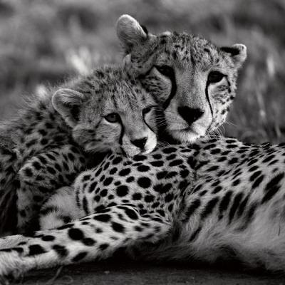 Cheetah with Cub Print by Danita Delimont