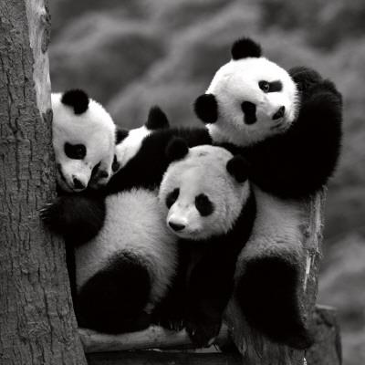 Pandas Prints by Danita Delimont