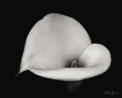 Calla Lily IV Posters by Vitaly Geyman