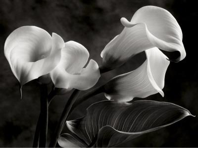 Calla Lilies No. 1 Poster by Sondra Wampler