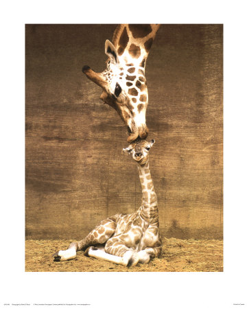 Giraffe, First Kiss Print by Ron D'Raine