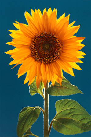 Sunflower Posters at AllPosters.