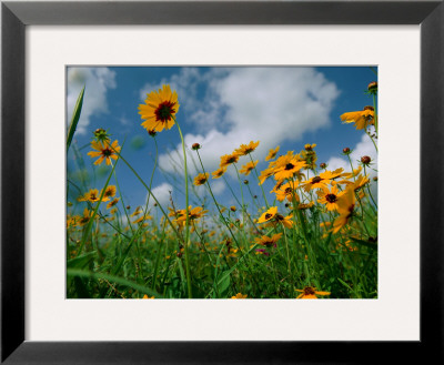 Wild Sunflowers in a Field Framed Photographic Print