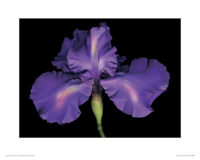 Blue Rainbow Iris reproduction procédé giclée