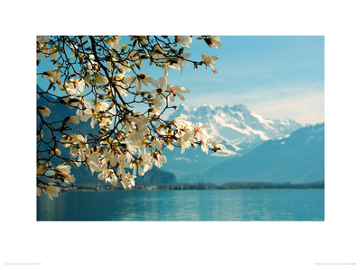 Blossoming Magnolia, Lake Geneva, Switzerland Giclee Print by Guenter Fischer