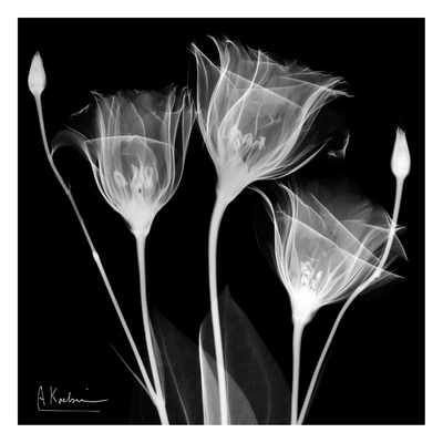 Gentian Trio on Black Art by Albert Koetsier