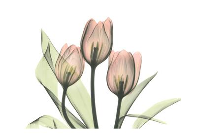 Pink Tulip Bunch Prints by Albert Koetsier