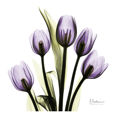Tulip in Purple Posters af Albert Koetsier
