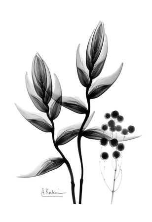 Heliconia Arrangement Black and White Posters by Albert Koetsier