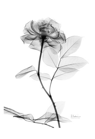 Rose in Full Bloom in Black and White Posters af Albert Koetsier