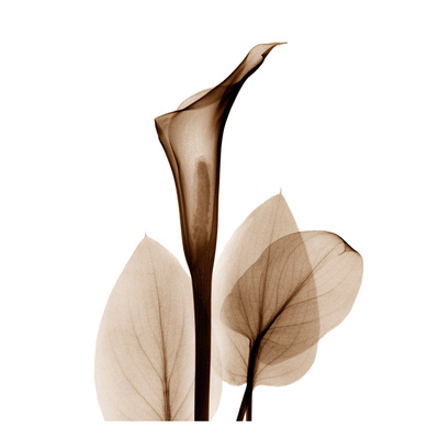 Calla Lilly in Sienna Art Print