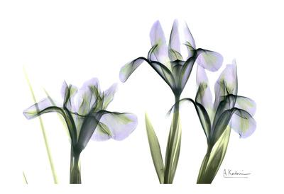 Blue Iris Triple Posters by Albert Koetsier