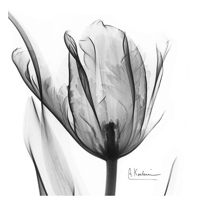 Two Tulips in Black and White Plakater af Albert Koetsier