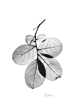 Myrtle Leaves in Black and White Close Up Prints by Albert Koetsier