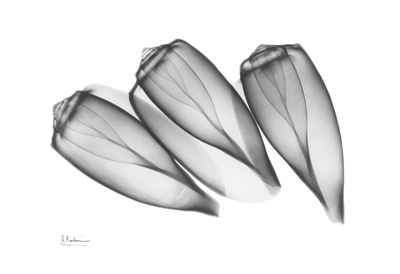 Olive Shell Triplets Prints by Albert Koetsier