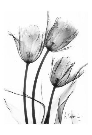 Tulip Arrangement in Black and White Plakater af Albert Koetsier