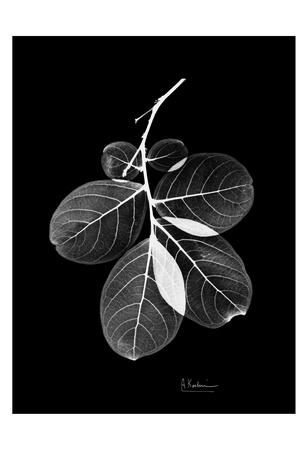 Myrtle Leaves on Black Print by Albert Koetsier