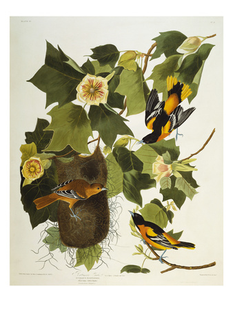 Baltimore Oriole. Northern Oriole (Icterus Galula), from 'The Birds of America' Premium Giclee Print by John James Audubon