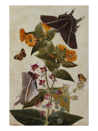Study of Mirabilis and Origanum Dictamnus with Swallowtail and Ringlet Butterflies Premium Giclee Print by Thomas Robins Jr