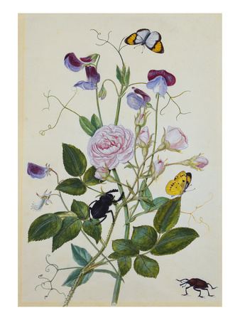 Galica Rose and Perennial Sweet Pea, Weevil, a Beetle and Butterflies Premium Giclee Print by Thomas Robins Jr