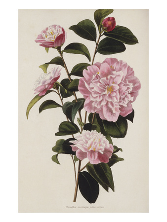 Camellia.  from 'The Botanical Cabinet, Consisting of Coloured Delineations of Plants from All… Premium Giclee Print by Conrad Loddiges