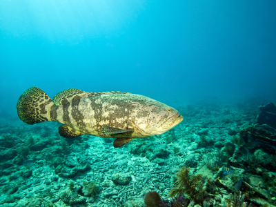 A Goliath Grouper Effortlessly Floats by a Shipwreck Off the Coast Key Largo, Florida Photographic Print by  Stocktrek Images