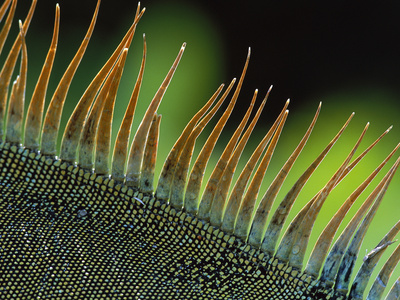 Green Iguana (Iguana Iguana) Spines on the Back of a Dominant Male, Barro Colorado Island, Panama Photographic Print by Christian Ziegler/Minden Pictures