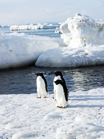 Adelie Penguins, Pygoscelis Adeliae, on Ice Amid Icebergs Photographic Print