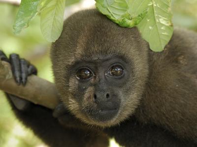 Humboldt's Woolly Monkey (Lagothrix Lagotricha) Portrait, Amacayacu Nat'l Park, Colombia Photographic Print by Thomas Marent/Minden Pictures