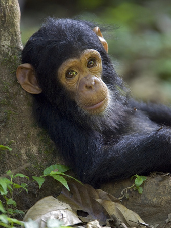 Chimpanzee (Pan Troglodytes) Baby Against a Tree, Endangered, Gombe Stream Nat'l Park, Tanzania Photographic Print by Ingo Arndt/Minden Pictures