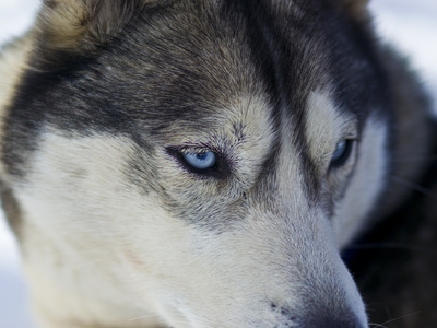 The Wolf-Like Stare of a Siberian Husky Sled Dog with Very Blue Eyes Photographic Print