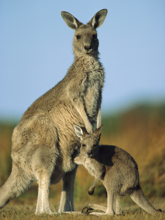 Eastern Grey Kangaroo (MacropusGiganteus) Joey and Mother, Wilson's Promontory Nat'lPark, Australia Photographic Print by Ingo Arndt/Minden Pictures